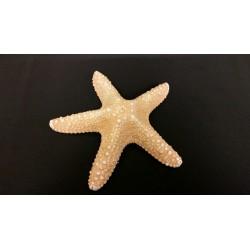 Stella marina naturale. CM 13 circa H 3.5